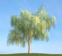 柳樹中等精度樹模型020FBX和3ds格式的一棵樹法線貼圖齊全