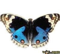 蝴蝶帶動畫